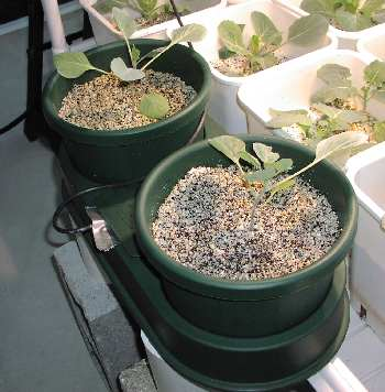 Broccoli planted in AutoPots