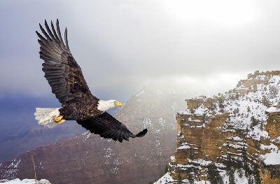 Beautiful Bald Eagle