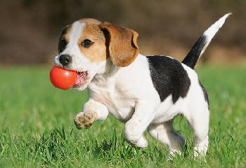 Most dogs love to play ball.