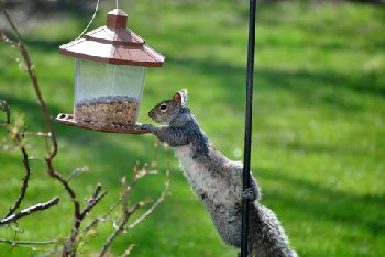 Squirrels can empty out a bird feeder in no time!