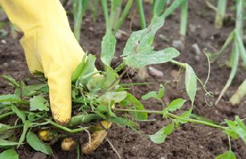 Weeding the garden is backbreaking work.