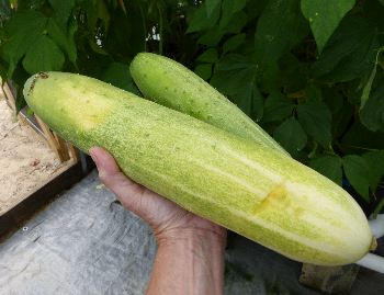 Hydroponically grown cucumber