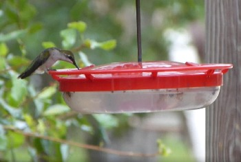 Our hummers love to take a quick rest and a snack from our HummZinger feeder.