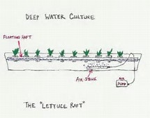 Deep Water Culture Lettuce Raft