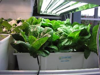 Hydroponic Lettuce Raft